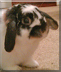 Alex the Holland Lop Rabbit