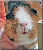 Hoppsan the Abyssinian Guinea Pig