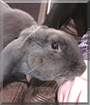 George the English Lop Rabbit
