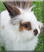 Moka the Angora mix Rabbit