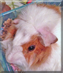 Cottonball the Abyssinian Guinea Pig