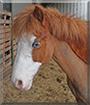 Leon the Welsh Pony