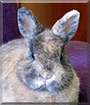 Foxy the Netherland Dwarf Rabbit