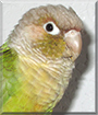 Honey Belle the Cinnamon Green Cheek Conure
