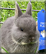 Blu the Netherland Dwarf Rabbit