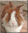 Bunny the Lionhead Rabbit