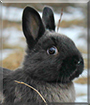 Batman the Netherland Polish Rabbit mix