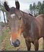 Scotty the Quarter Horse