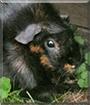 Falada the Rosette Guinea Pig
