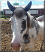 Gambler the Paint Horse