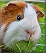 Essie the Guinea Pig