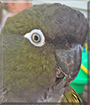 Lucy the Patagonian Conure