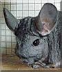 Violet the Chinchilla