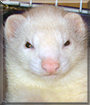 Sniffy the Ferret
