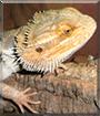 Pott the Bearded Dragon
