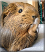 GingerSnap the Silky Guinea Pig