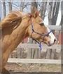 Harley the Quarter Horse