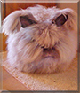Yoshi the English Angora Rabbit