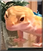 Mushu the Leopard Gecko