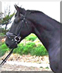 Moondancer the Thoroughbred Horse