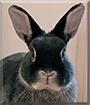 Bilbo the Netherland Dwarf Rabbit