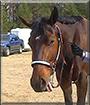 Mercedez the American Quarter Horse