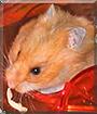 Gizmo the Teddybear Hamster