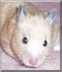 Megan the Teddy Bear Hamster