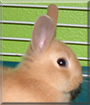 Mindy the Dwarf Rabbit