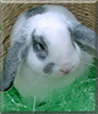 Thor the Miniature Lop Rabbit