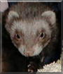 Skeeter the Domestic Ferret