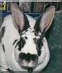 Wilbuhr the Mini Rex Rabbit