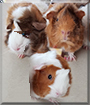 Nina, Scarlett and Daisy the Abyssinian Guinea Pigs
