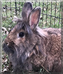 Andrea the Lionhead, Flemish Giant mix Rabbit