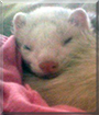 Houdini the Ferret