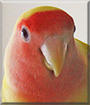 Buddy the Lutino Peach-faced Lovebird