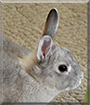 Cookie the Netherland Dwarf Bunny
