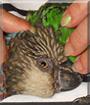 Pele the Hawkhead Parrot