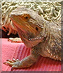 Xena the Bearded Dragon