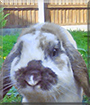 Marley the French Lop Rabbit