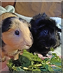 Mackey and Alfie the Shorthair Guinea Pig, Abyssinian Guinea Pig