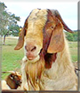 Sonny the South African Boer Goat