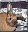 Pumpkin the Lop mix Rabbit