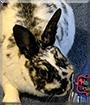 Minnie the Dwarf Rabbit