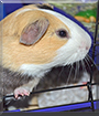 Giovanni the English Short Hair Guinea Pig