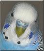 Pepito the Parakeet