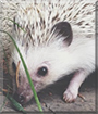 Holly the African Pygmy Hedgehog