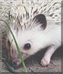 Holly the African Pygmy Hedgehog