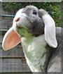 Joris the Rex Widder Rabbit