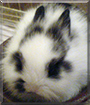 Bola the Lionhead Rabbit